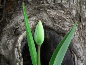 tulip-200514_640